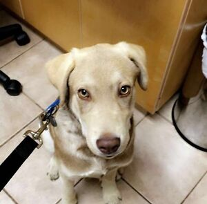 8 MONTH OLD YELLOW LABRADOR MALE STOLEN IN ABBOTSFORD