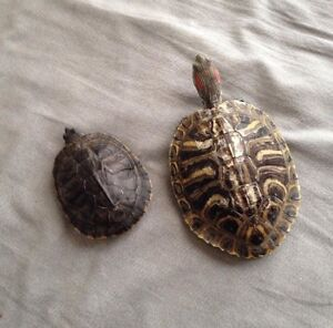 2 turtles for sale! :)
