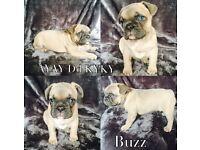 Beautiful litter of 6 Blue/Blue & Tan French Bulldog puppies