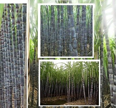 Zuckerrohr schnellstwüchsige Pflanze große Zimmerpalme fürs Büro Büropflanze  ()