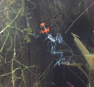 Dart Frogs and Vivarium