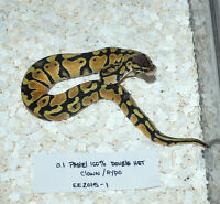 100% Double het Clown/ Hypo hatchlings available!