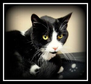 DECLAWED, SWEET, GENTLE  --  Fixed  --  @ Small Things Cats