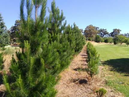 Real Christmas Tree Perth Region Wa Gumtree Australia Free Trees
