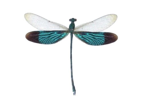 ONE REAL GREEN DRAGONFLY NEUROBASIS CHINENSIS INDONESIA MOUNTED PACKAGED