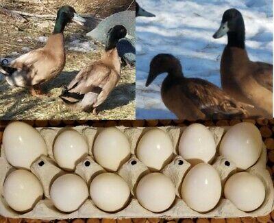 6 Of Bradys Fertile Khaki Campbell Hatching Eggs - Free Shipping