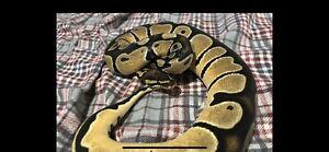 Female orange dream ball python