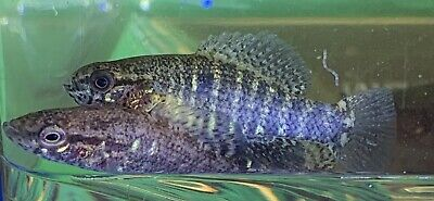 (6) Banded Pygmy Sunfish TINY*Nano Freshwater Live Fish Aquarium! BONUS PLANTS!! Tiny Aquarium Fish