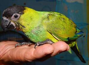 NANDAY CONURES HANDRAISED AVAILABLE SOON! Kingston Logan Area Preview