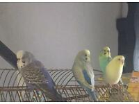 budgies for sale -2 left
