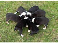 Collie x Kelpie Pups for Sale