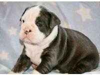 Old English Bulldog Pups