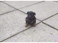 Lakeland cross border terrier pup for sale
