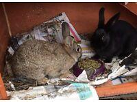 2 Gorgeous Female Rabbits
