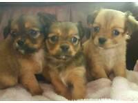 Tibetan spaniel puppies