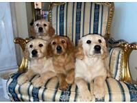 Irish red setter/golden retriever puppies