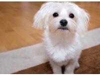 Maltese dog for sale