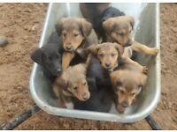 Labrador / lassie puppies
