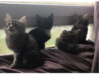Beautiful half Bengal kittens mum and father seen