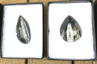 Orthoceras Fossil Specimen Set of 2 with 2 Vintage Specimen Glass Panel Boxes