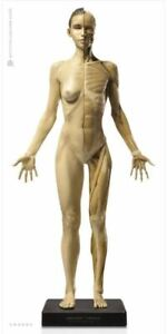 Statue Anatomy tools Female model