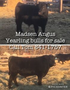 Black Angus Bulls For Sale