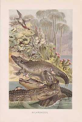 Nilkrokodil Crocodylus niloticus Lithographie von 1890 Krokodile