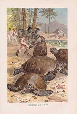 Suppenschildkröte Chelonia mydas Lithographie von 1890 Schildkröten