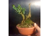 Look 3 X great quality Shohin size Prebonsai Material