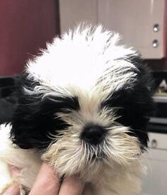 Beautifull shih tzu puppy