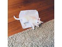 Pure white female kitten