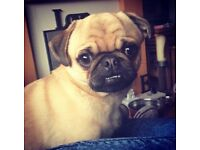 Fawn pug MISSING