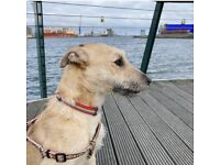 Lovely lurcher for sale