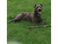 Stunning Blue Staffordshire Bull Terrier Puppys Available