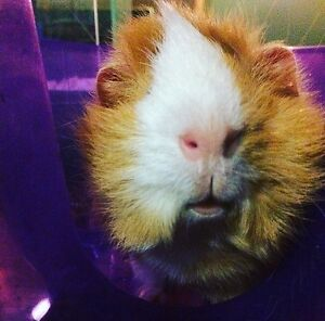 friendly female guinea pig looking for new home