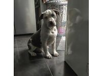 AMERICAN XL BULLY ABKC HUGE PED