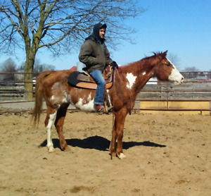 Kid safe / beginner safe / trail safe Registered Paint mare