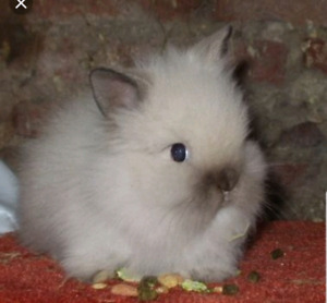 Looking for female lionhead bunny
