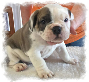 Bulldog Puppies Available -Olde English Bulldogge