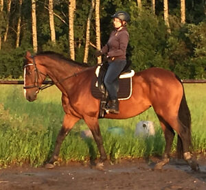 Registered KWPN warmblood