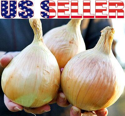 30  Organically Grown Giant 5 Lb Ailsa Craig Onion Seeds Heirloom Non Gmo Mild