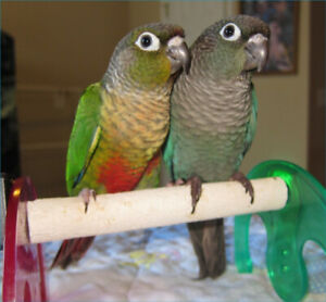 ❤️⭐❤️Conure⭐Babies Available with Cage❤️⭐❤️
