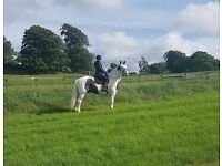 Horse for share 15.2hh Beautiful bombproof gelding.