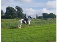15.2hh horse for share