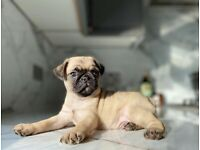 Stunning blue, black and fawn pug puppies