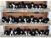 Beautiful Border Collie puppies