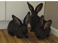 Purebred continental giant baby rabbits (does)