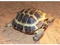 Russian Tortoise - Horsfields Tortoise - Free Delivery