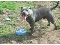 I'm after a male staffy