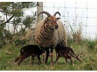 Rare Breed Sheep Fleeces for sale.